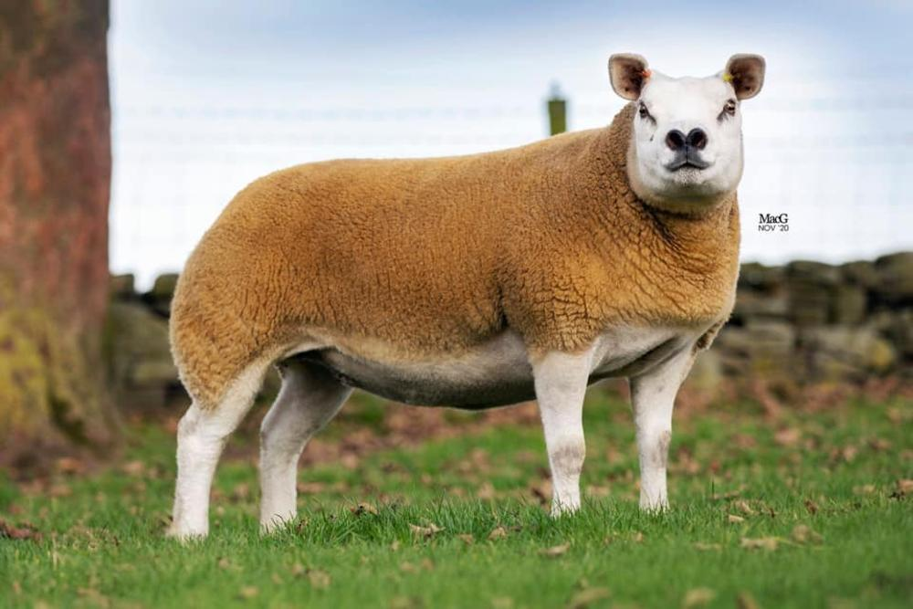 New NI record prices for in-lamb Texel females