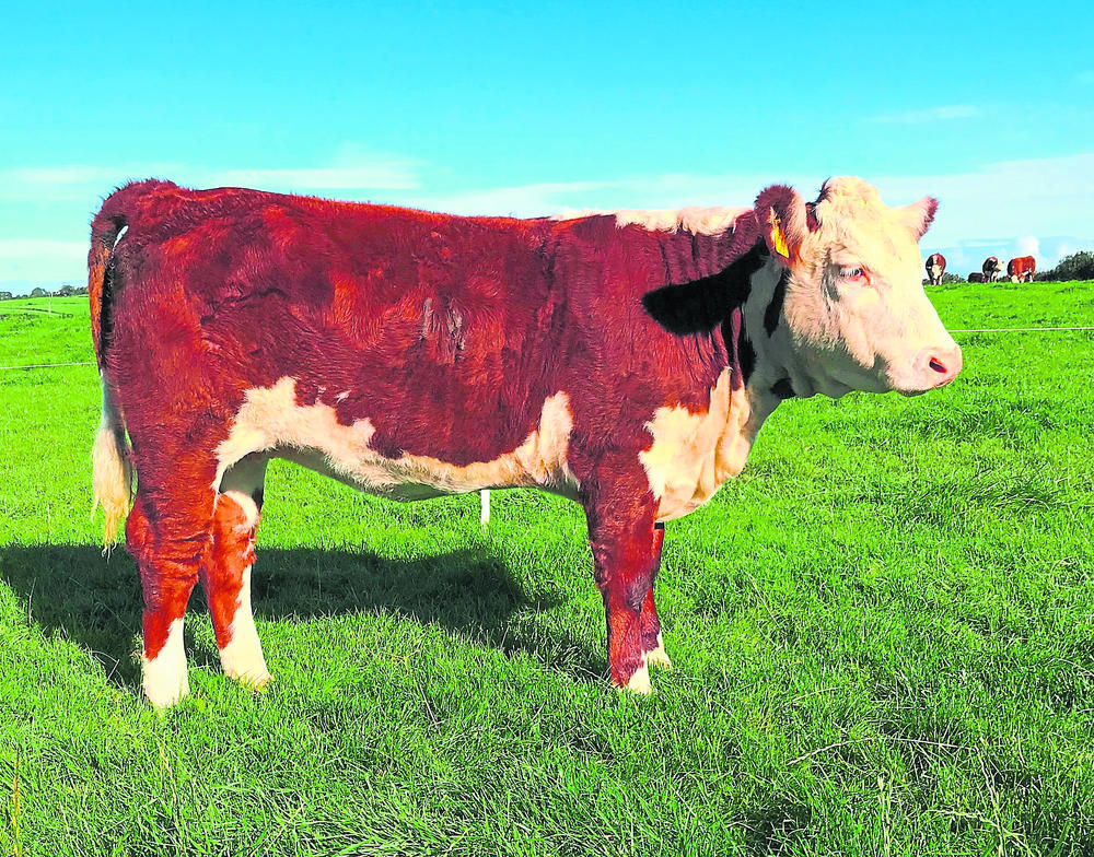 Herefords shine in online show