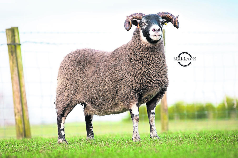 Blackface females sell to 6200gns