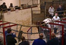 SHORTHORN SALE RI Farm